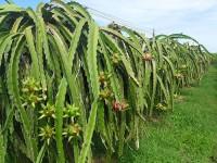 Bình Thuận: Cho vay nông nghiệp chiếm 57% tổng dư nợ tín dụng