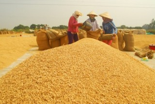 Tiếp tục đẩy mạnh cho vay sản xuất, tiêu thụ lúa gạo Đồng bằng sông Cửu Long