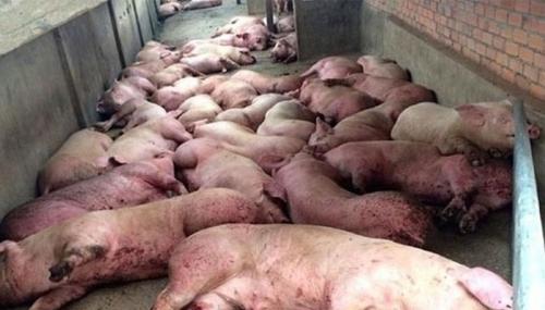 Phải xử lý dứt điểm các ổ dịch tả lợn châu Phi