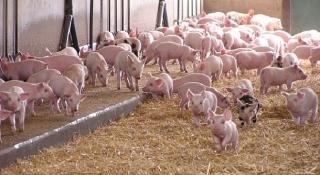 Các doanh nghiệp sẽ nhập khẩu 12 nghìn con lợn giống