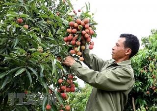 Gặp khó vì Covid-19, Bắc Giang đưa ra 3 kịch bản xuất khẩu quả vải