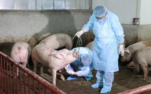 Ban Bí thư ban hành Chỉ thị về thực hiện phòng, chống dịch tả lợn châu Phi