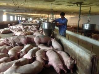 Các ngân hàng đã cho vay hỗ trợ người chăn nuôi lợn 357 tỷ đồng