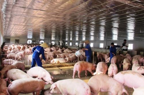 Phòng chống dịch tả lợn châu Phi bằng phương thức chăn nuôi an toàn sinh học