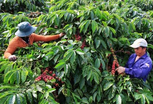 Diện tích cà phê trên địa bàn Đắk Lắk có thể giảm 231 ha