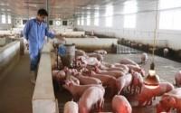 Hưng Yên đã khống chế được dịch tả lợn châu Phi