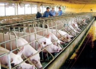 Sử dụng chất cấm trong chăn nuôi có thể bị phạt tới 100 triệu đồng