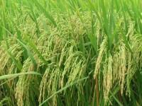 TP.HCM: Ban hành tiêu chí cánh đồng lớn