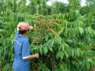 NHNN Việt Nam chủ trì triển khai phương án cho vay tái canh cà phê