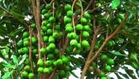 Nghiên cứu phát triển hiệu quả cây mắc ca ở vùng Tây Bắc