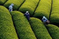 Đài Loan tăng cường quản lý với các sản phẩm chè nhập khẩu từ Việt Nam