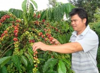Triển khai chính sách cho vay tái canh cà phê khu vực Tây Nguyên