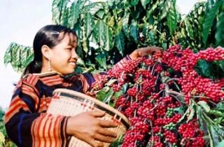 Lãi suất cho vay tái canh cà phê trong thời gian ân hạn tối đa là 7%