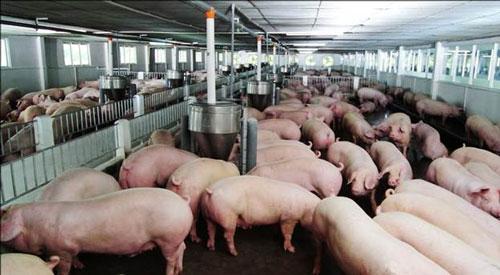 NHNN hướng dẫn các TCTD giãn nợ, miễn giảm lãi vay chăn nuôi lợn