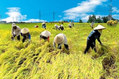 Gạo Việt chiếm 15% tổng lượng gạo xuất khẩu toàn thế giới