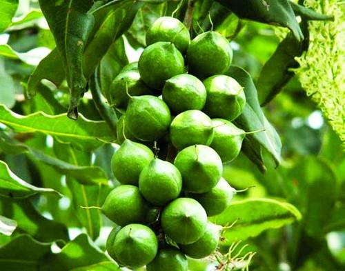 Đề xuất chính sách cho cây mắc-ca