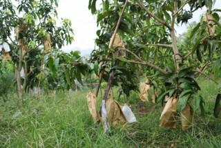 Yên Châu mùa quả ngọt