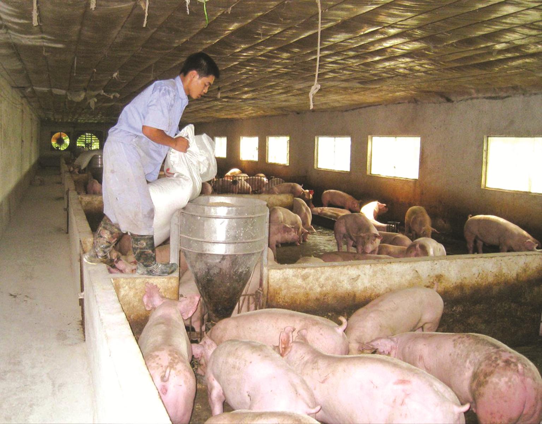 Tái đàn lợn hiệu quả: Cần có chiến lược dài hơi
