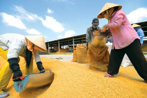 Vị đắng hạt gạo