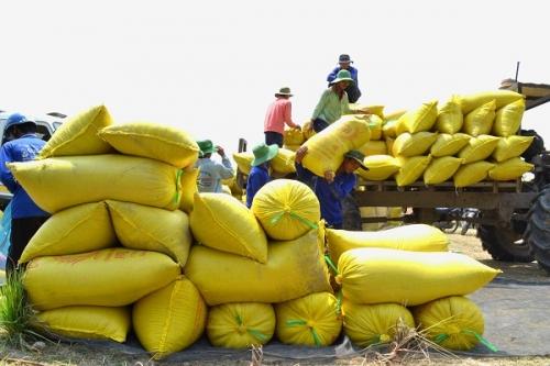 Giá lúa ở ĐBSCL tăng mạnh