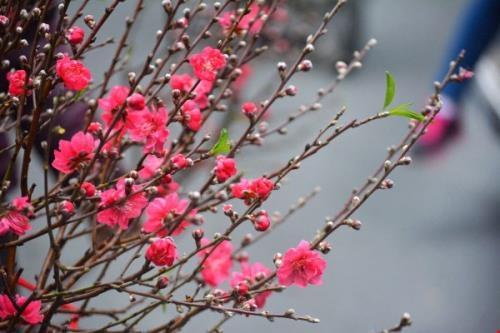 Vietnam Airlines chuyển hoa đào hoa mai giá từ 290.000 đồng/cành