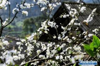Vietrantour: Tour ngắm hoa, hành hương nở rộ sau Tết