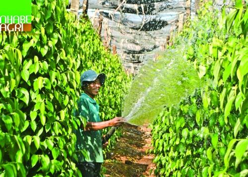 Xuất khẩu hồ tiêu Việt Nam: Cần nâng cao chất lượng