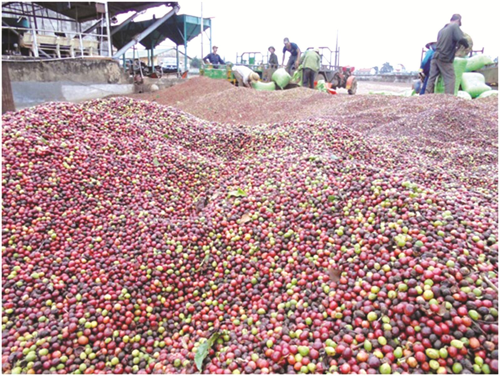 Nông dân lo lắng vì cà phê mất giá