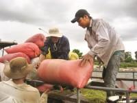 """Tạm trữ lúa gạo """"buông"""" nông dân"""