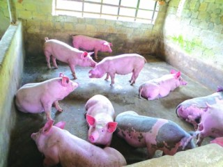 Dịch tả lợn châu Phi: Khẩn trương khoanh vùng, dập dịch