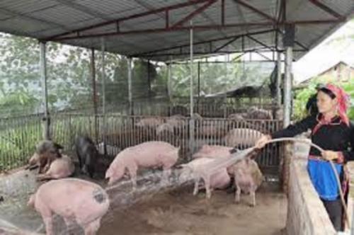 Hỗ trợ khách hàng bị thiệt hại do ảnh hưởng của dịch tả lợn Châu Phi