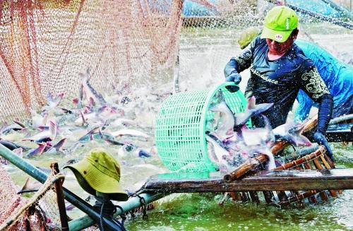 Ngành cá tra Việt Nam: Hướng đến mục tiêu xuất khẩu 2,4 tỷ USD
