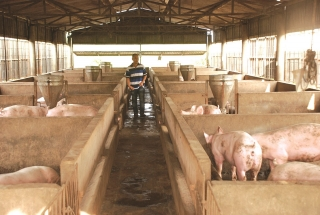 Siết chặt hoạt động vận chuyển gia súc