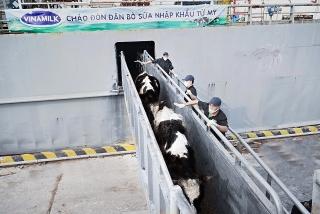 Vinamilk nhập khẩu hơn 2.100 con bò sữa thuần chủng HF từ Mỹ