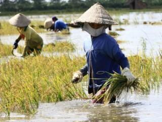 Ngân hàng Quốc dân cho vay thu mua tạm trữ thóc, gạo