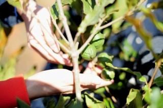 Lâm Đồng sẽ quy hoạch vùng trồng mắc ca