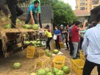 Hapro tiêu thụ 22 tấn dưa hấu hỗ trợ nông dân miền Trung