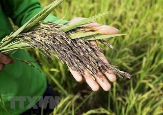 Doanh nghiệp xuất khẩu gạo kiến nghị phân bổ lại số lượng hạn ngạch