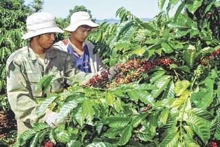 Đau đầu vì thiếu nhân công thu hoạch nông sản