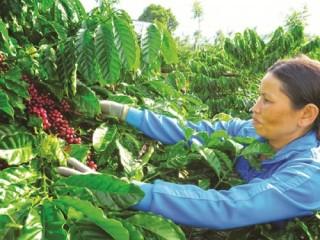 Ngân hàng trợ lực tái canh cà phê