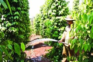 Chung tay hỗ trợ người nông dân trồng hồ tiêu