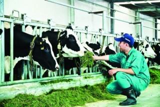 Phát triển chăn nuôi gia súc ăn cỏ: Cần cú huých để tăng tốc