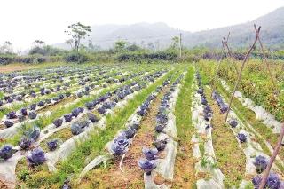 Nông sản rớt giá giữa mùa dịch