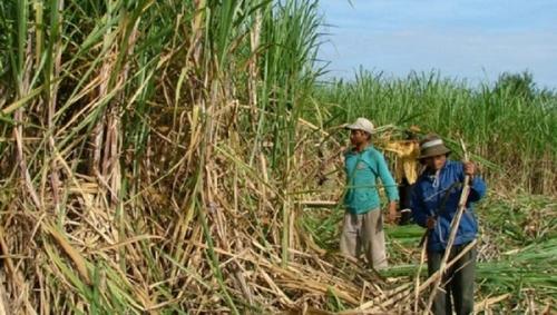 Bước tiến của ngành mía đường Việt