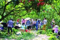 Lễ hội vải thiều Thanh Hà: Góp phần phát triển du lịch sinh thái