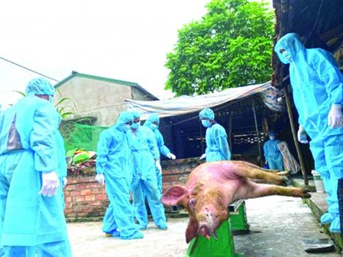 Tìm lối thoát hiểm cho dịch tả lợn châu Phi