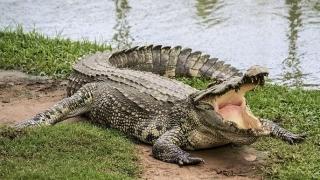Nguy cơ mất an toàn do cá sấu thoát ra ngoài