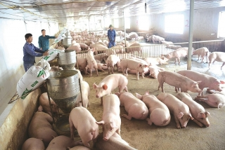 Hộ chăn nuôi nhỏ lao đao vì giá thịt lợn giảm sâu