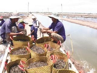 Gỡ khó cho xuất khẩu tôm