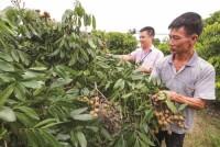 Vườn trái xum xuê nhờ vốn vay ưu đãi